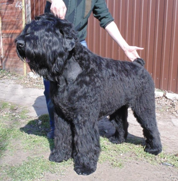Животные: Собака Сталина - черный (русский) терьер