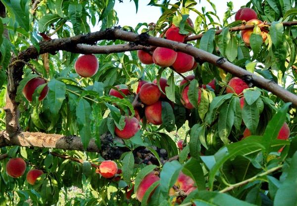 Экономика: Персиковые плантации в Испании решили уничтожить из-за российского эмбарго