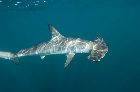 Интересное: Какие акулы водятся в Черном море
