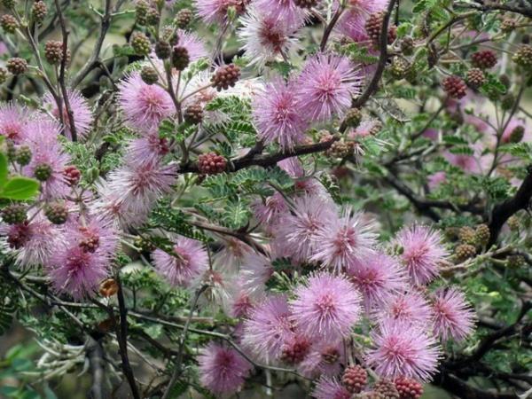 Природа: Настоящая мимоза