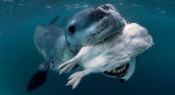 Животные: Интересные факты о морском леопарде
