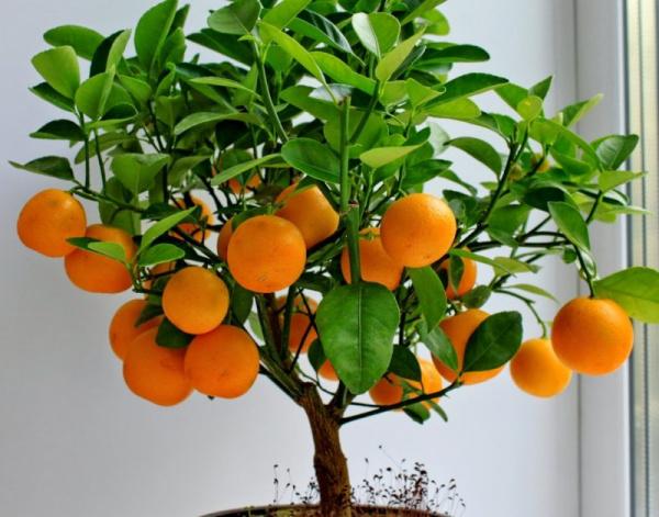 Полезные советы: Экзотические фрукты, которые можно вырастить в квартире