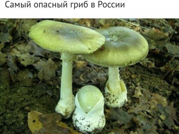 Здоровье: Самые ядовитые грибы России