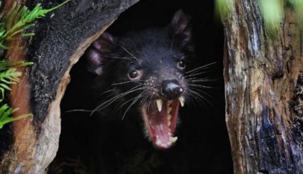Животные: Тасманийский дьявол