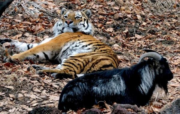 Животные: Умер известный козел Тимур, друг тигра Амура