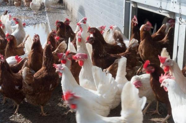 Интересное: Чем отличаются белые яйца от коричневых