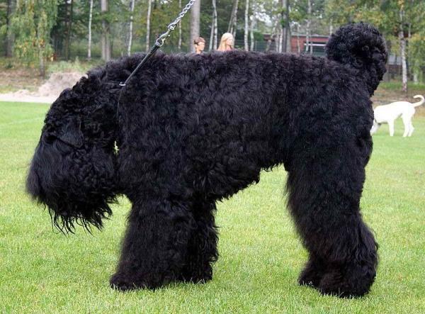 Животные: Черный терьер
