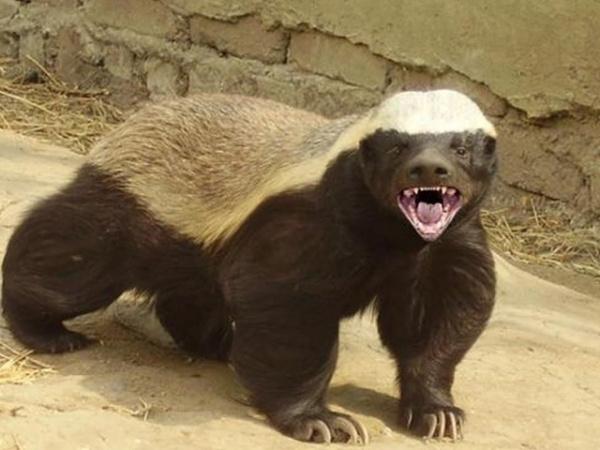 Животные: Медоед:  самое агрессивное и бесстрашное животное в мире