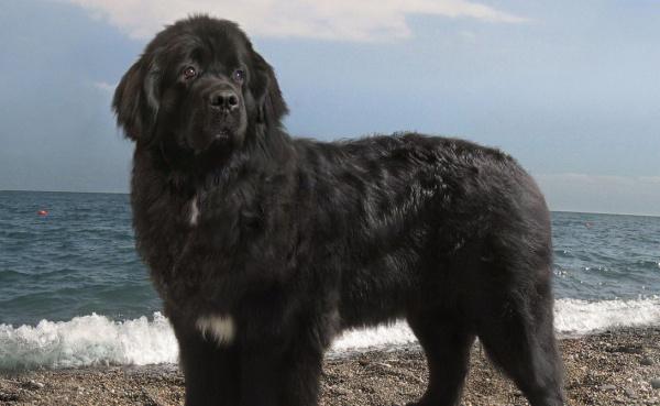 Животные: Исчезнувшие породы собак