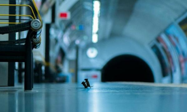 Животные: Драка мышей в лондонском метро: лучшее фото дикой природы за 2019 год