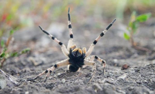 Интересное: Мизгирь:  русский тарантул