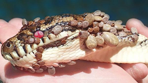 +18: Клещи нападают на змей (впечатлительным не смотреть)