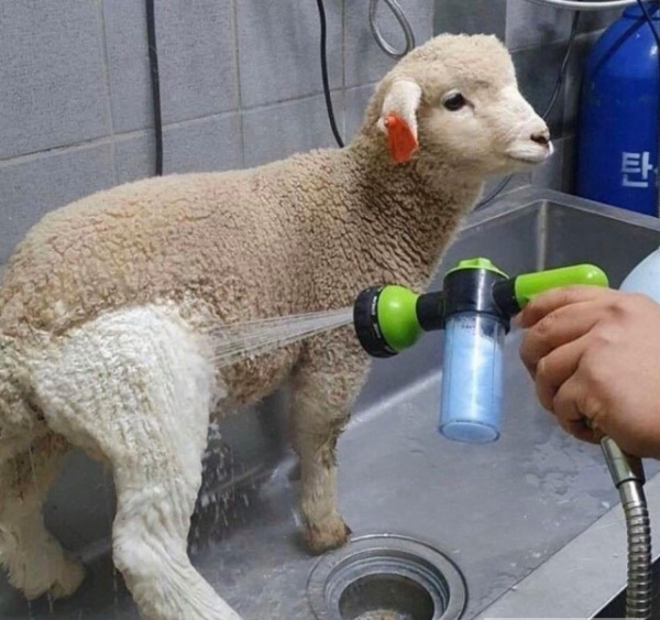 Животные: Вымытый барашка :-)