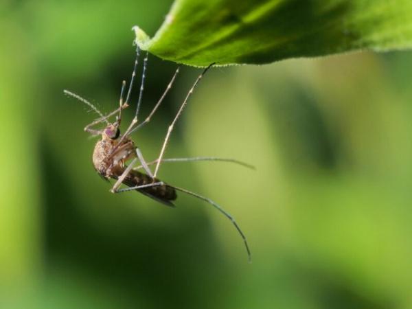 Интересное: Пять стадий комариной жизни