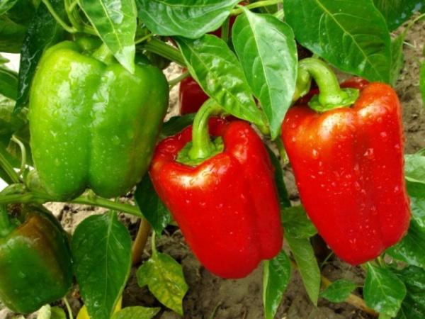 Природа: Оказывается, что перец не овощ, а арбуз не ягода