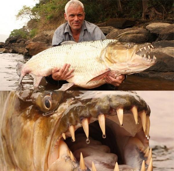 Животные: Большая тигровая рыба