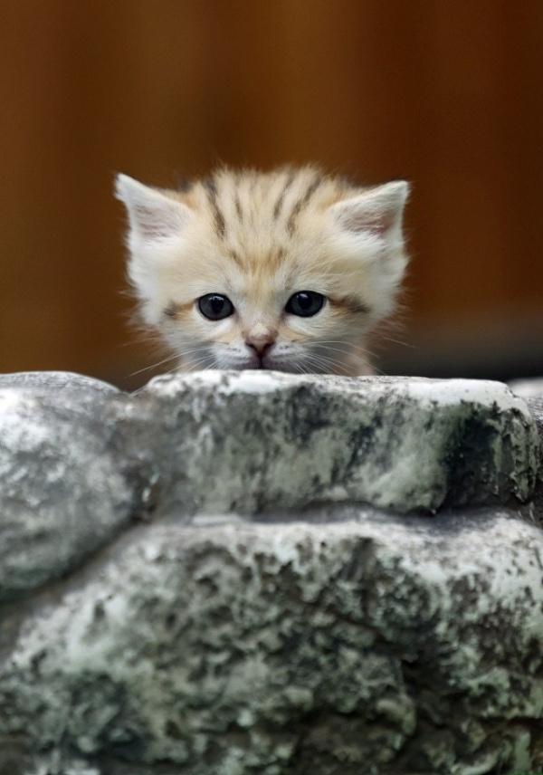 Животные: Котёнок барханной кошки