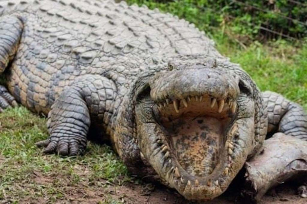 Животные: Крокодил Генри из ЮАР отметил своё 120-летие