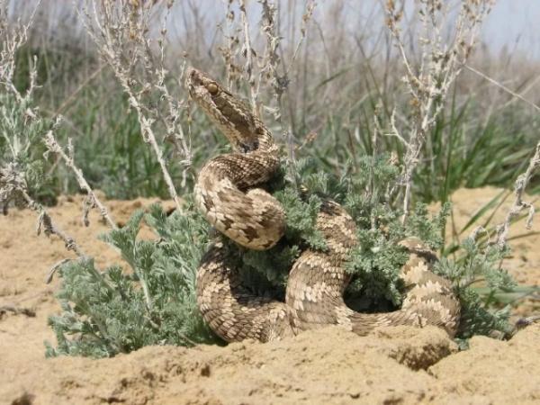 Животные: Опасная змея - щитомордник