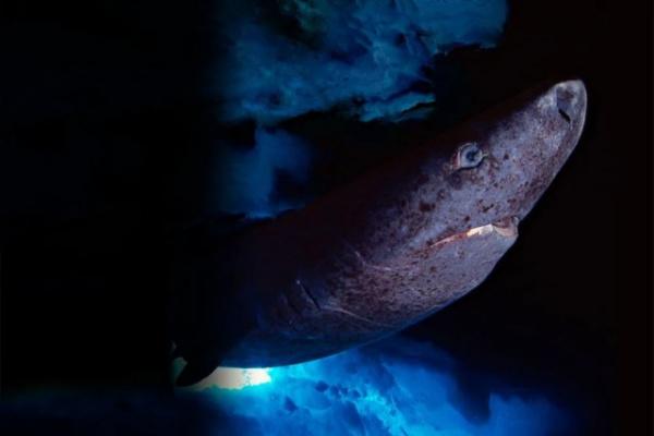 Животные: Гренландская акула