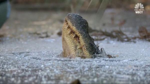 Животные: Замороженные крокодилы