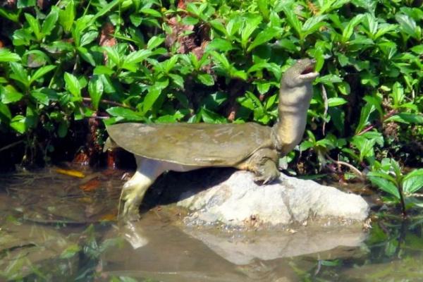 Животные: Самая опасная черепаха России: Трионикс Дальневосточный