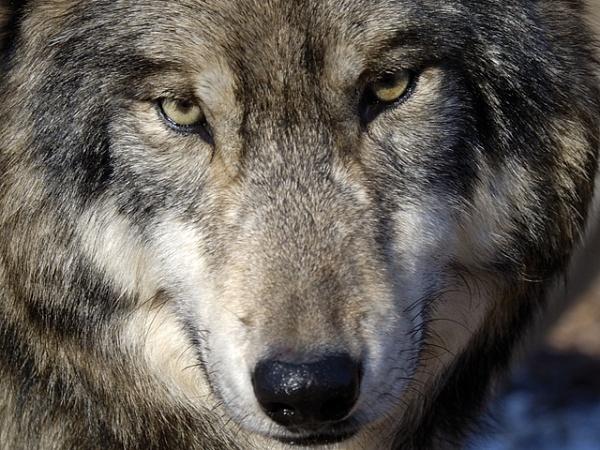 Животные: Как волки изменили течение рек