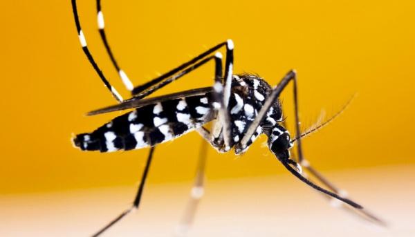 Здоровье: На черноморских курортах появились опасные тигровые комары
