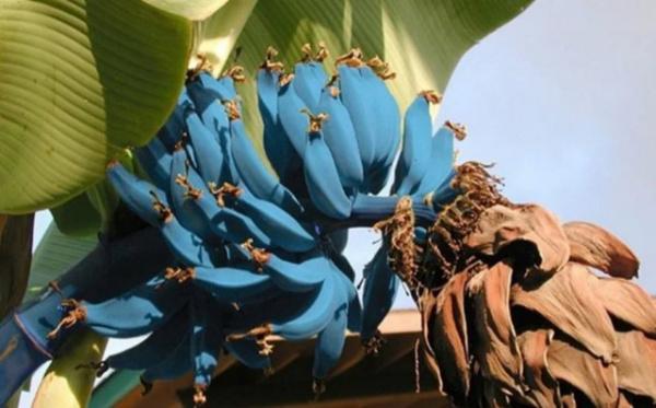 Интересное: Какие бывают бананы