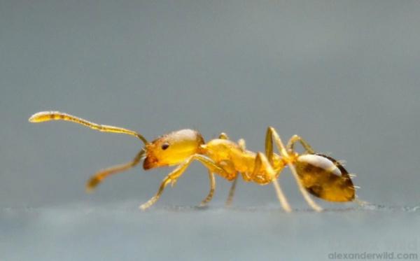 Интересное: Фараонов муравей: 270 лет назад их нашли в гробнице, грызущими мумии
