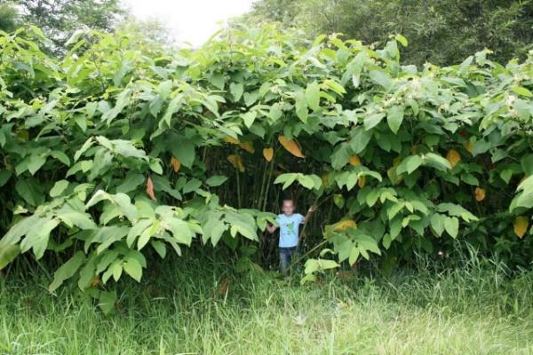 Природа: Почему на Сахалине обычные растения достигают гигантских размеров?
