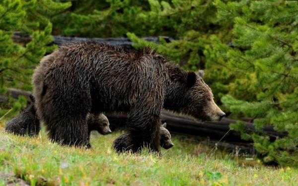 Животные: Интересные факты о медведях