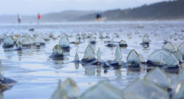 Природа: Медуза Парусница