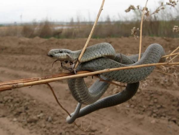 Животные: Медянка: Путают с гадюкой и убивают. Безобидная и полезная змея на грани вымирания из-за людского невежества