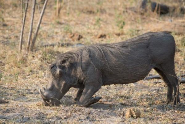 Животные: Бородавочник