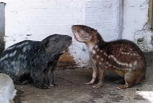 Животные: Пакарана: «Ужасная мышь» с зубами-мачете. Гигантский грызун весом в 15 кило