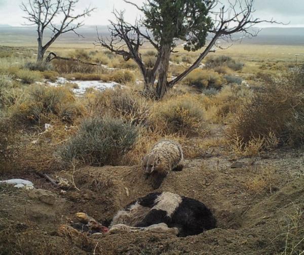 Животные: Американские барсуки способны прятать туши, во много раз превосходящие их по размерам