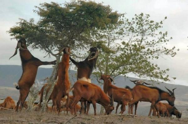 Животные: Как армия с козлами воевала