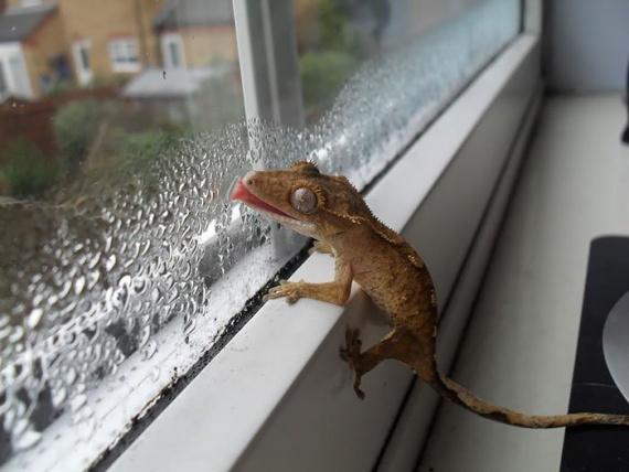 Животные: Облизывающие стекло животные, которые не имеют представления, как глупо они выглядят