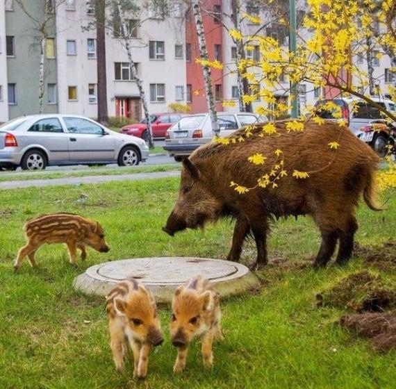 Животные: Питерские кабанчики