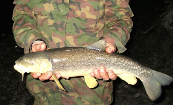 Животные: Акбалык - одна из самых опасных рыб России