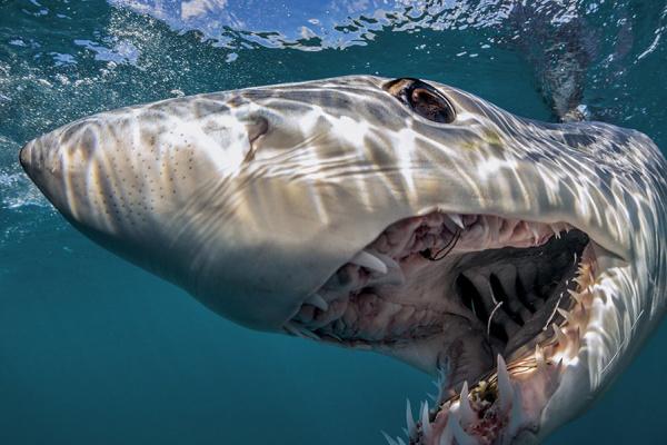 Животные: Мако - самая быстрая акула в мире