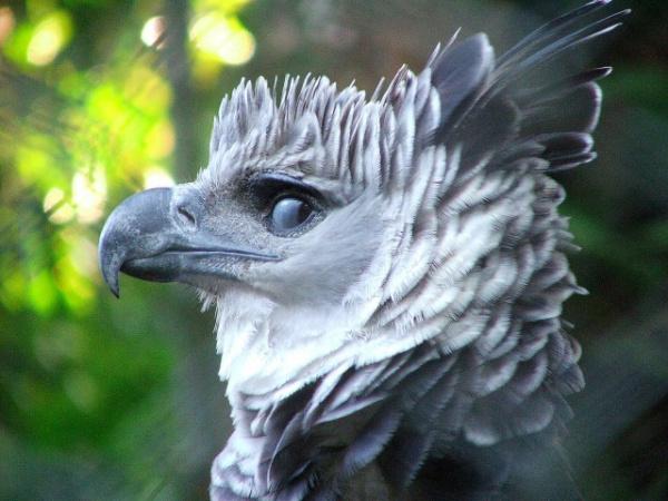 Интересное: Гарпия: хищная красота из Южной Америки