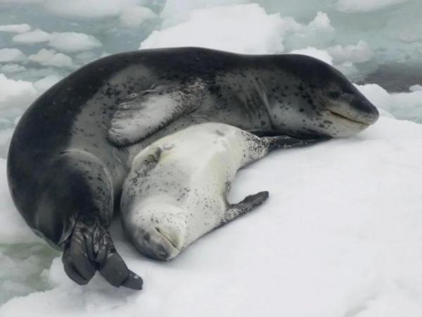 Животные: Морской леопард: Царь Антарктиды, построивший свою власть на крови пингвинов