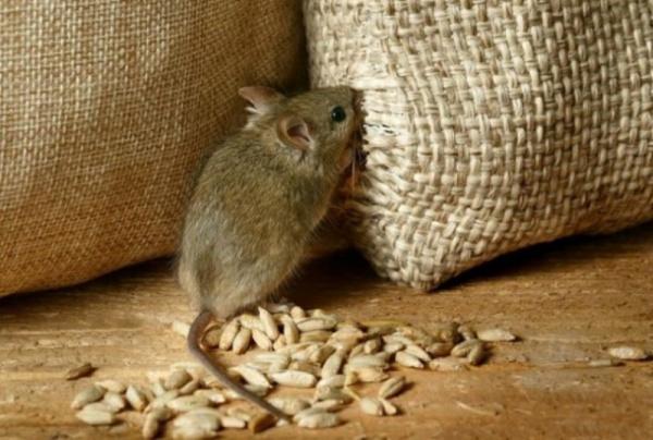 Украина: Мыши схомячили 2700 вагонов зерна из госрезерва Украины :-)