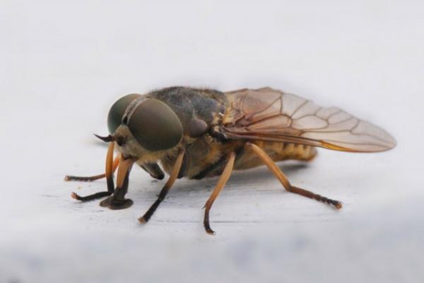 Интересное: Слепень: деревенская муха-вампир