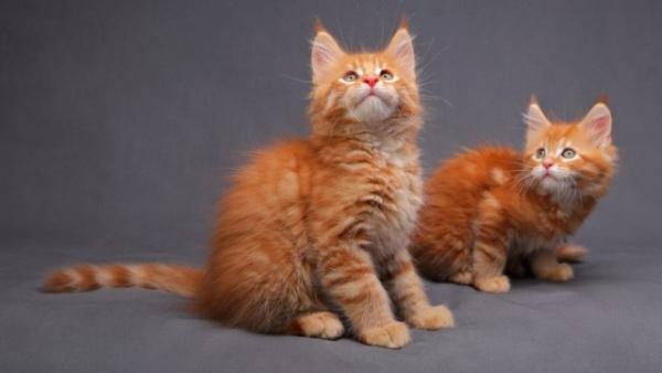 Животные: Самые редкие окрасы кошек