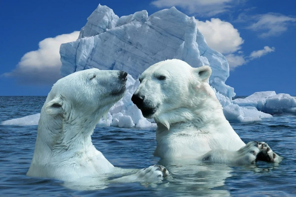 Животные: Белая медведица привела медвежат в чукотский Певек