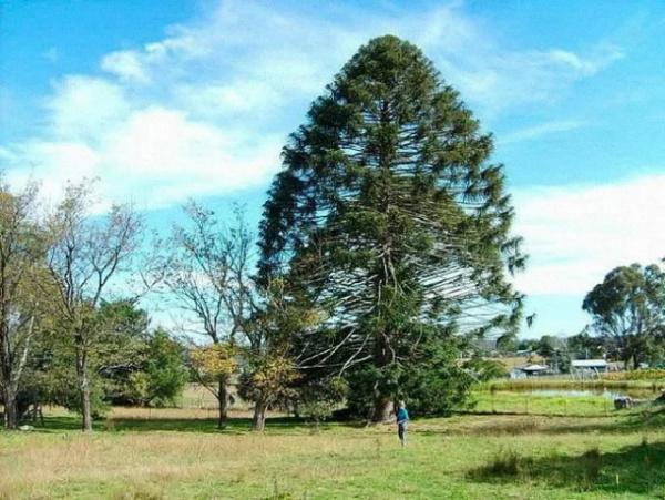 Природа: Араукария - доисторическое дерево