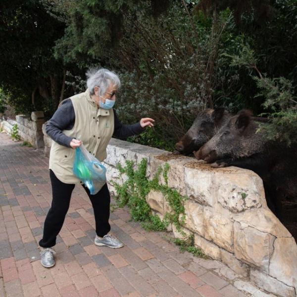 Животные: Израильский город Хайфу захватили кабаны :-)